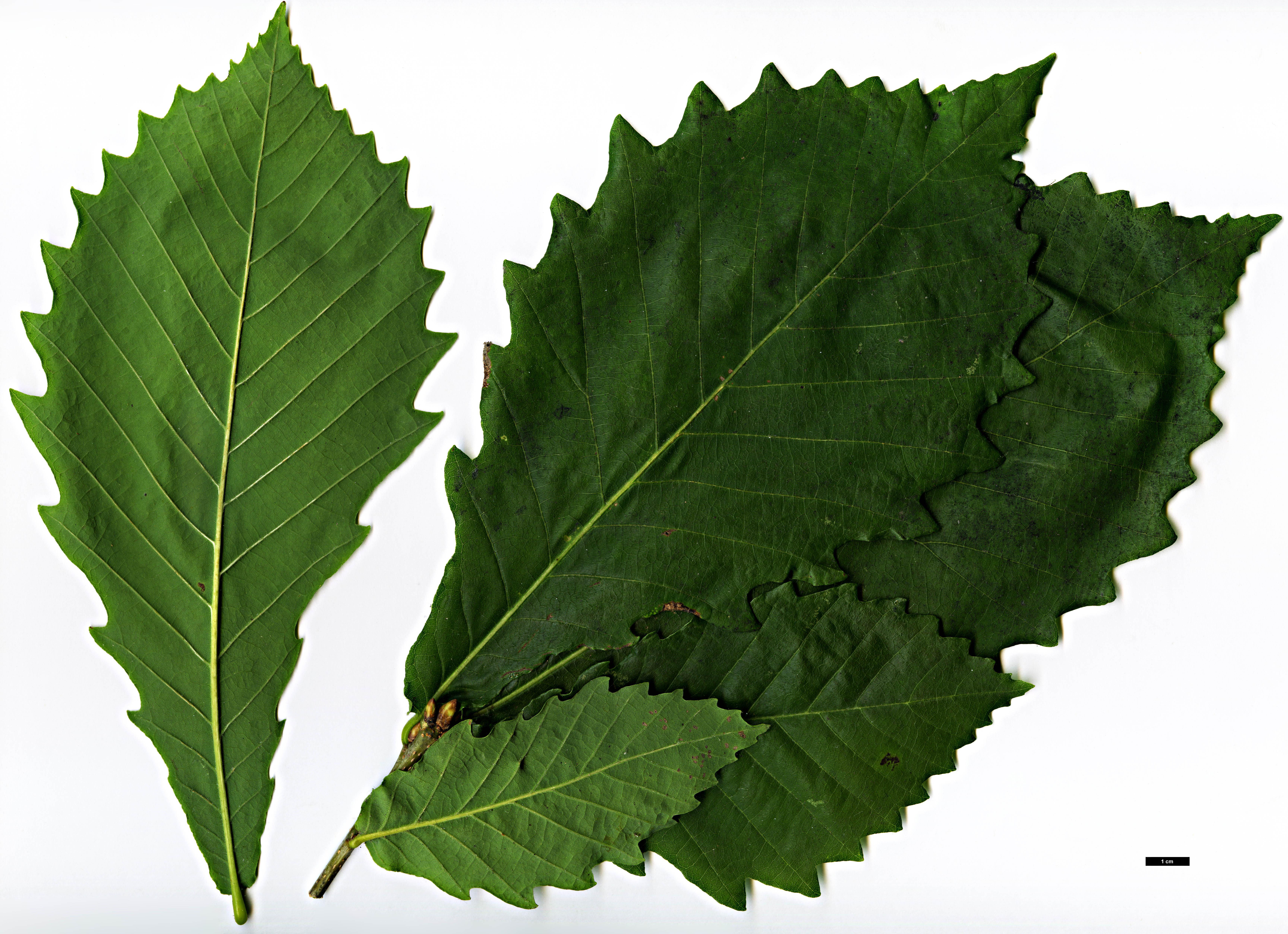 http://www.oaknames.org/images/leafpics/Quercus_crispula_HGAA19890384A-Warner-Howick-JP_JDL016977_30JUL2010_04.jpg