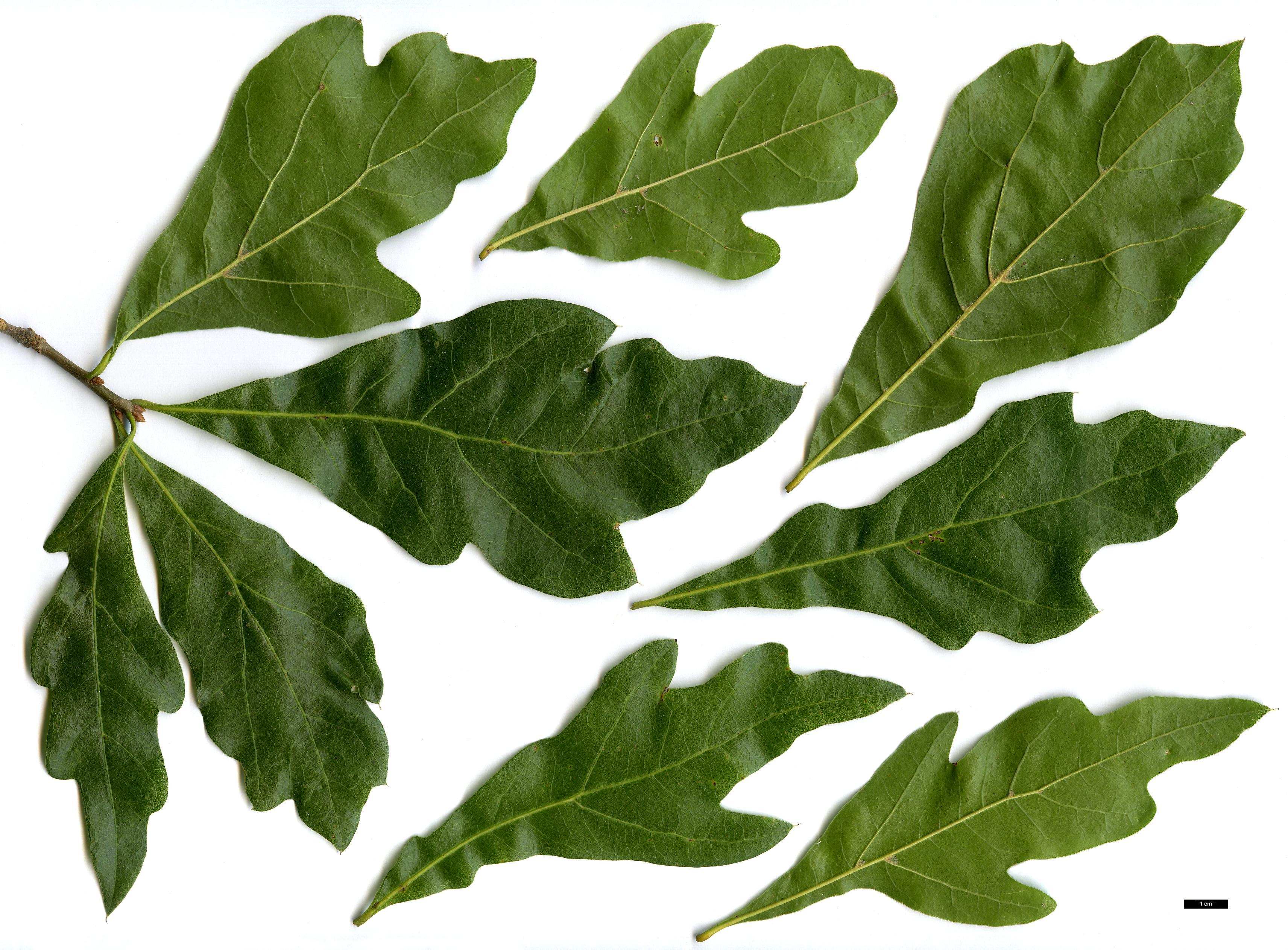 Quercus Nigra Illustration of leavesQuercus Nigra Buds
