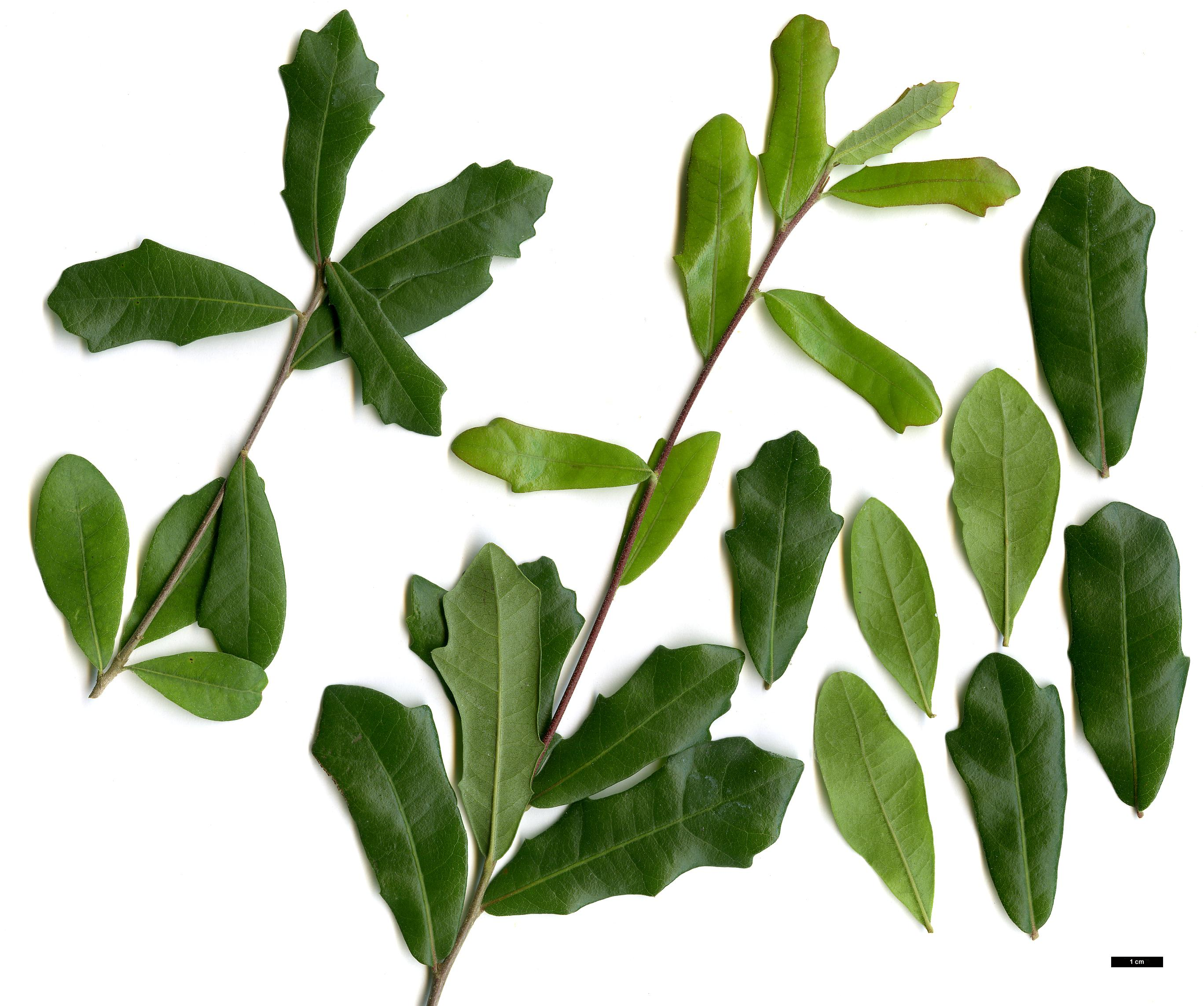 Quercus Laurifolia Leaf The gallery for -->...