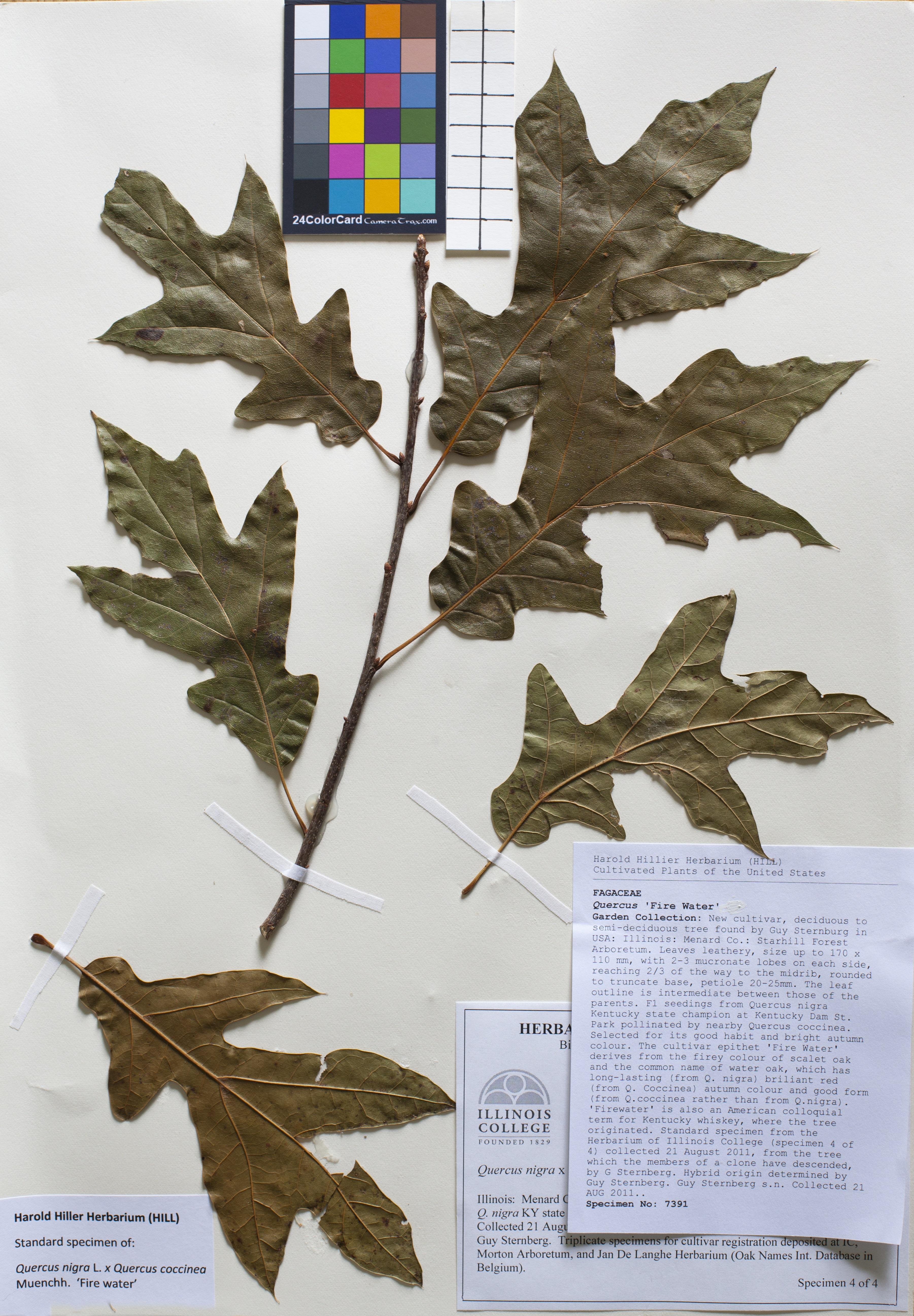 magnolie genie pbr
